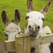 Stock Photo: Two donkeys in paddock