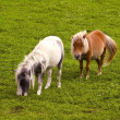 Two shetland ponies - Stock Photo