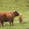 Royalty-Free Stock Photo: Highland cow and calf