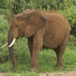 Kenyan elephant — Stock Photo