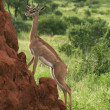 Gerenuk on a termite mound — Stock Photo