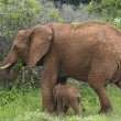 Mother and baby elephant 4 — Stockfoto