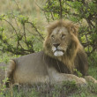 Male lion in kenya — Stock Photo #2808421
