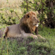Stock Photo: Male lion in kenya