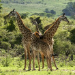 Masai giraffes in kenya — Stock Photo
