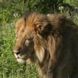 Stock Photo: A male lion in kenya 3