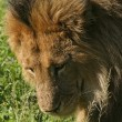 A male lion in kenya 2 - 图库照片