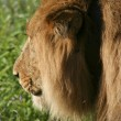 Stock Photo: A male lion in kenya