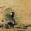 Red wattled lapwing — Stock Photo