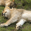 Sleeping lions in kenya - 图库照片
