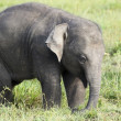 Stock Photo: Baby elephant in sri lanka