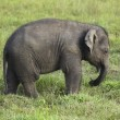 Stock Photo: Baby elephant in sri lanka 2