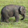 Baby elephant in sri lanka 2 — Stock Photo
