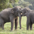 Stock Photo: Elephant courtship