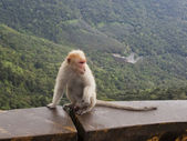 Grandfather macaque — Stock Photo
