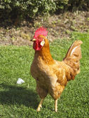 Red rooster — Stockfoto
