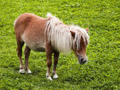 Minature shetland pony — Stock Photo