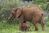 Mother and baby elephant 4 — Stock Photo