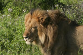 Um leão no quênia 3 — Fotografia Stock