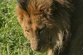 Um leão no quênia 2 — Fotografia Stock