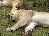 Sleeping lions in kenya — Stock Photo