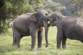 Elephant courtship — Stock Photo