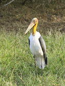 Lesser adjutant stork — Stock Photo