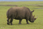 White rhino in kenya — Stock Photo