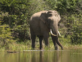 An indian elephant in sri lanka — Stock Photo