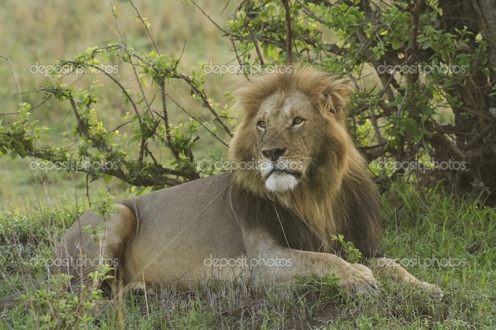 A male lion on the masai mara in kenya  Stock Photo #2808421