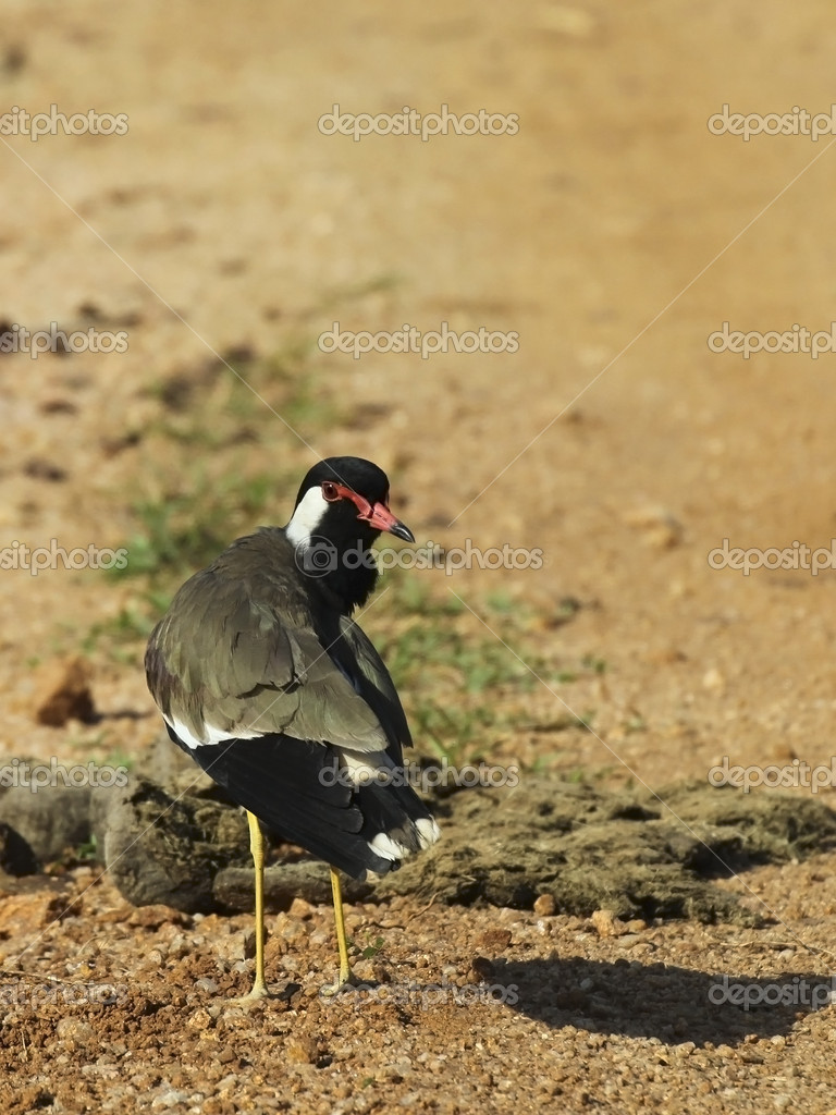 Red wattled lapwing in sri lanka — Stock Photo #2808496
