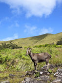 Rare and endangered nilgiri tahr — Stock Photo
