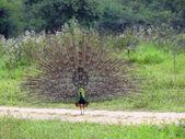 Peacock in sri lanka — Stock Photo