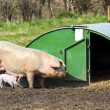 Free range pig and piglet — Stock Photo