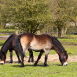 Two exmoor ponies - Stock Photo