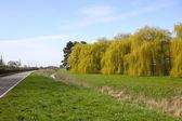 Willows in springtime — Stock Photo