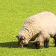 Stock Photo: Ewe and lamb
