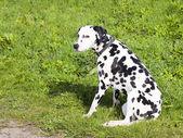 далматин собака — Стоковое фото
