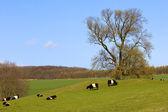 Pedigree dutch belted cattle — Stock Photo
