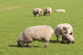 Sheep in springtime — 图库照片