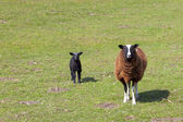 Ewe and lamb — Stock Photo