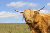 Close up of a highland cow — Stock Photo