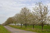 Flowering cherries — Stock Photo