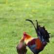 Free range rooster and chicken — Stock Photo #3055346