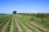 Potato rows — Stock Photo