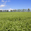 Pea field with poplar trees — Stock Photo #3370452