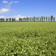 Pea field with poplar trees — Stock Photo