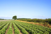 Midsummer potato field — Stock Photo