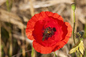 Poppy wth hover flies — Stock Photo