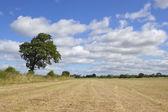 Oak tree and hay field — Stock Photo